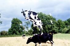 Pour la fête - La vache